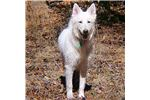 Picture of Male Berger Blanc Suisse Puppy