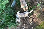 Picture of Czechoslovakian Wolfdog puppy
