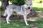 Picture of a Czechoslovakian Wolfdog Puppy