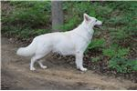 Picture of White Swiss Shepherd aka Berger Blanc Suisse