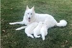 Picture of White Swiss Shepherd Puppy