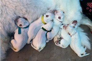 White Shepherds for sale