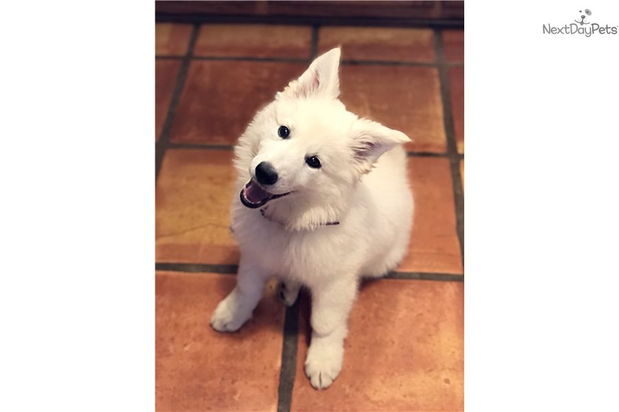 White Shepherd Puppy For Sale Near Memphis Tennessee