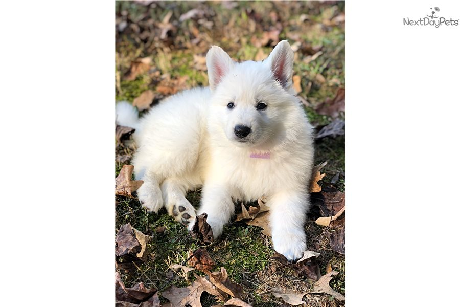 White German Shepherd Puppies Dogs For Sale Near Me In Poland