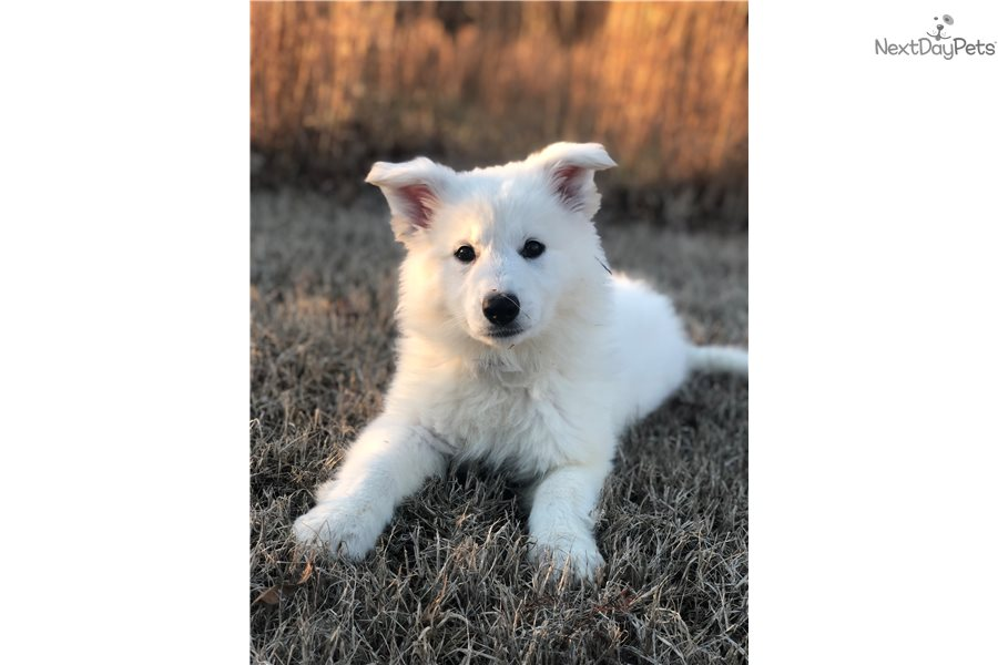 Buy White German Shepherd Puppies For Sale Near Me In New Zealand