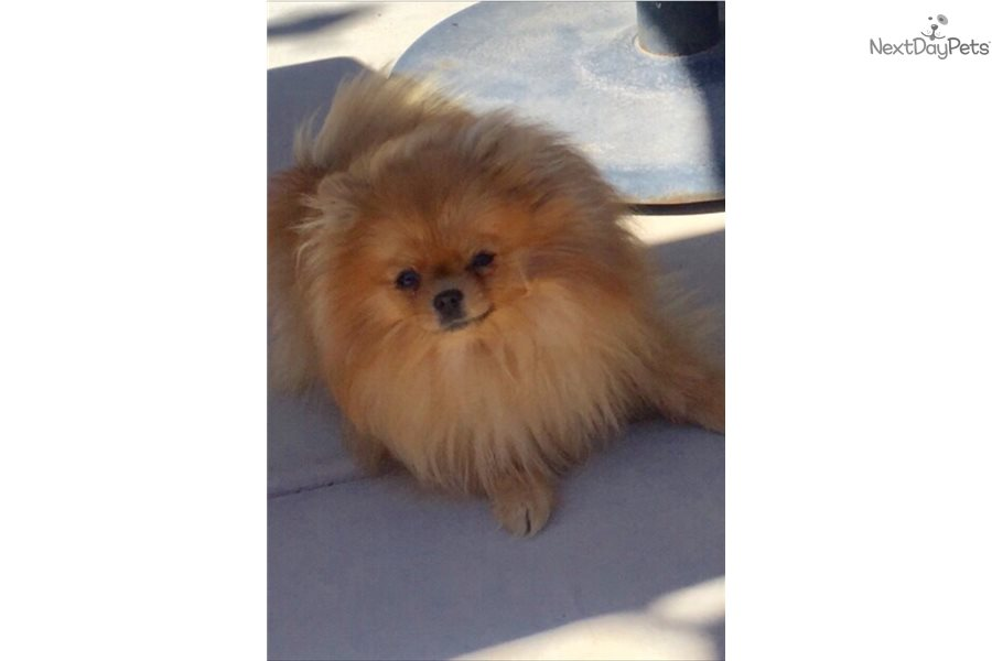 Tcup Gucci : Pomeranian puppy for sale near Worcester