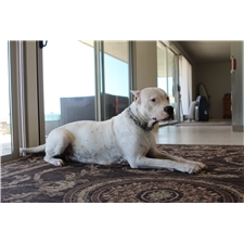 View full profile for Dogo Argentino Newport