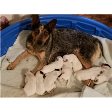 View full profile for L&L Blue Heelers