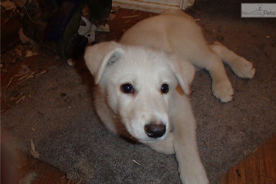 George Wolf Hybrid Puppy For Sale Near Cincinnati Ohio 26d9eab9 2801