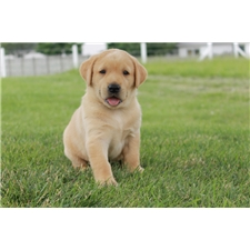 View full profile for Starlite Labradors