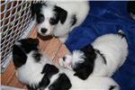 Picture of AKC Russell Terrier Rough Coat