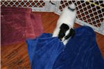 Picture of AKC Rough Coat Russell Terrier Male