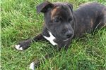 Picture of CH sired puppy
