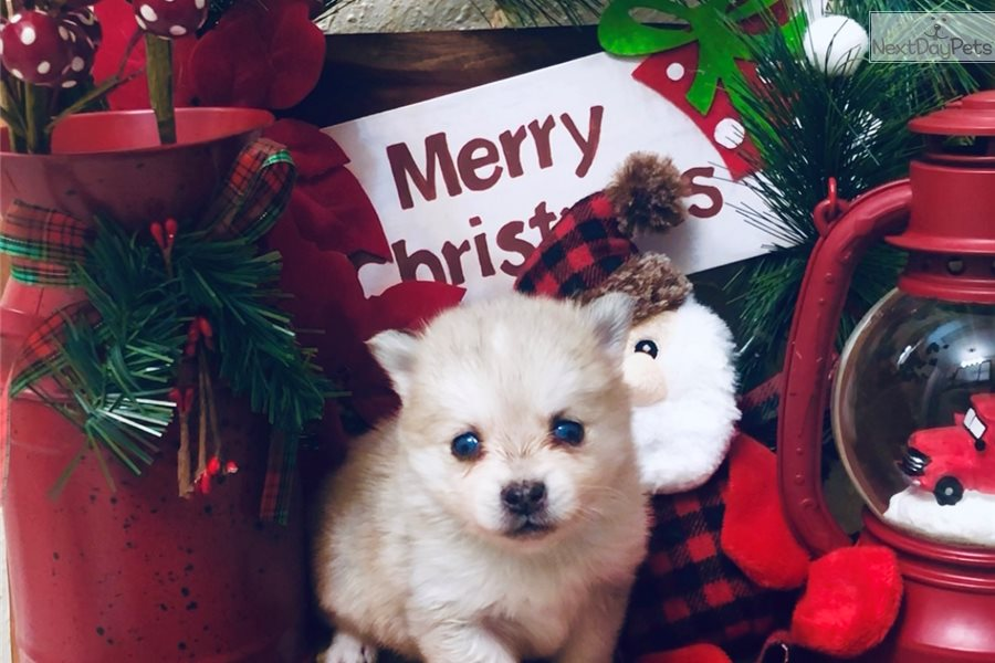 Blizzard: Pomsky puppy for sale near Dallas / Fort Worth, Texas