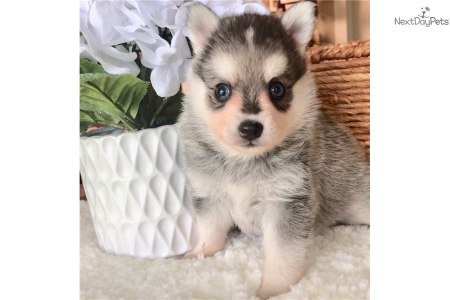 Minis: Pomsky puppy for sale near Dallas / Fort Worth, Texas