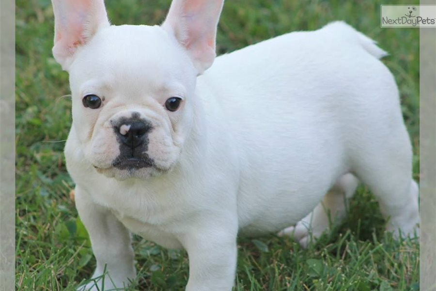 french bulldog puppies for sale ny snowball french bulldog puppy for sale near new york city 8375