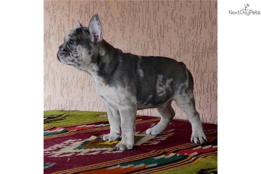 Akc Benjamin : French Bulldog puppy for sale near New York ...
