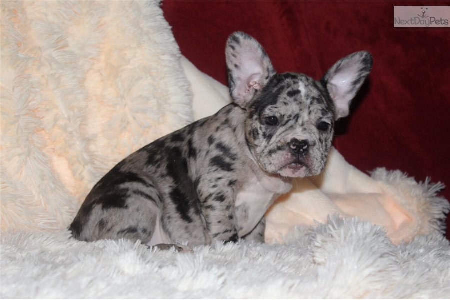 french bulldog puppies for sale ny spot french bulldog puppy for sale near new york city 3143