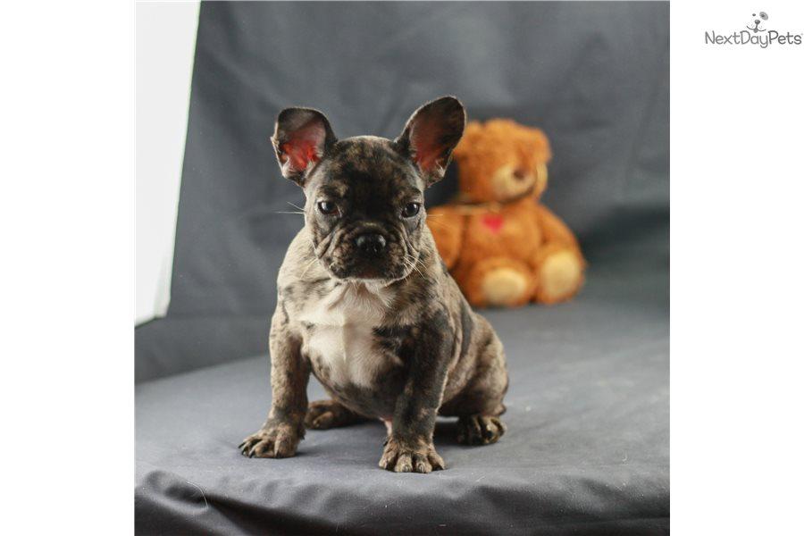 Akc Ben : French Bulldog puppy for sale near New York City ...