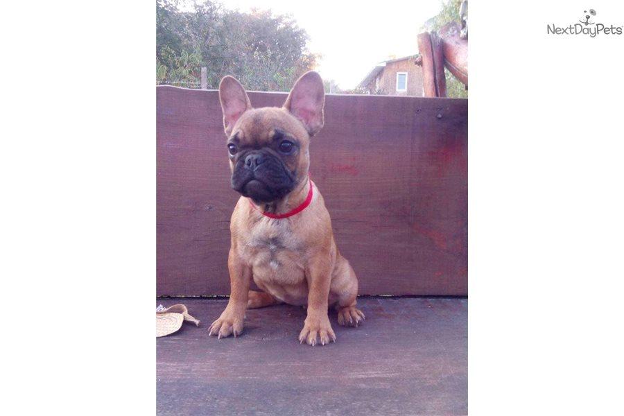 Mimi: French Bulldog puppy for sale near New York City ...