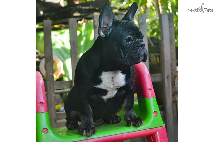 Nuar French Bulldog Puppy For Sale Near New York City New