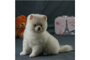 Picture of AKC Shanson
