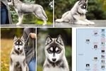 Picture of Romeo's boy_PET ONLY but great pedigree