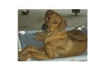 Featured Breeder of Rhodesian Ridgebacks with Puppies For Sale
