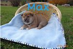 Picture of Beautiful Male ACA Registered Shiba Inu