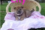 Picture of Beautiful Female ACA Registered Shiba Inu