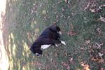 Picture of AkC Beautiful black (inverted brindle) male