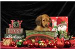 Picture of Female AKC Miniature Long Haired Dachshund