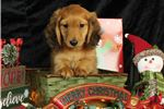 Picture of AKC Miniature Long haired Dachshund