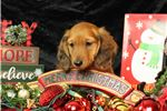 Picture of Male AKC Miniature Long Haired Dachshund