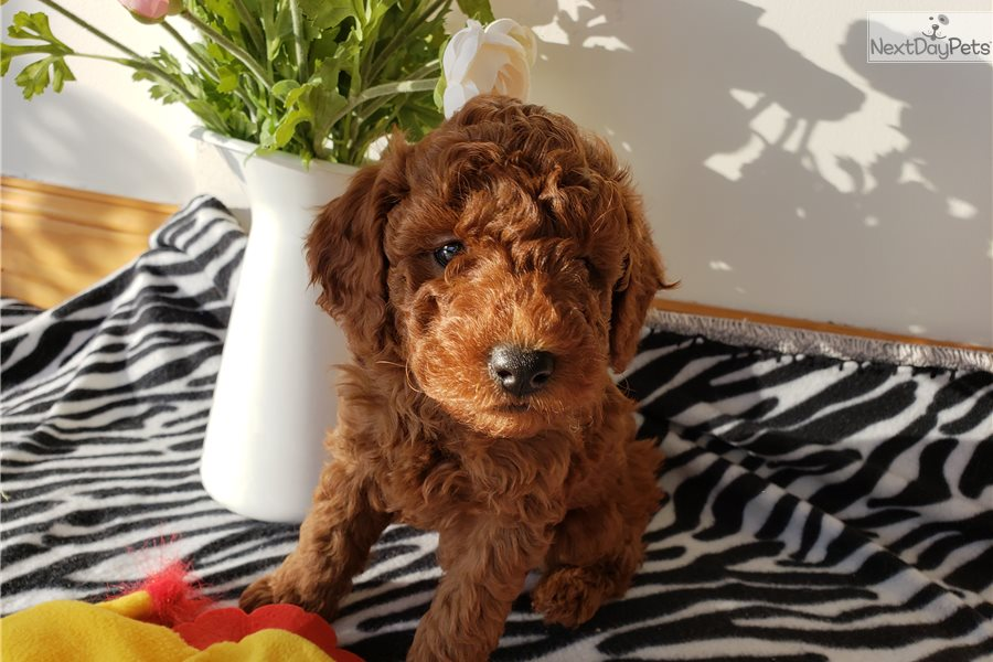 Oscar: Poodle, Miniature puppy for sale near Frederick