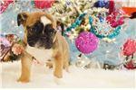 Picture of MUNCHKIN - AKC micro sable English bulldog