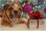 Picture of MADELINE - AKC chocolate mini English bulldog