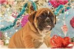 Picture of BECKHAM - AKC, mini English bulldog, sable