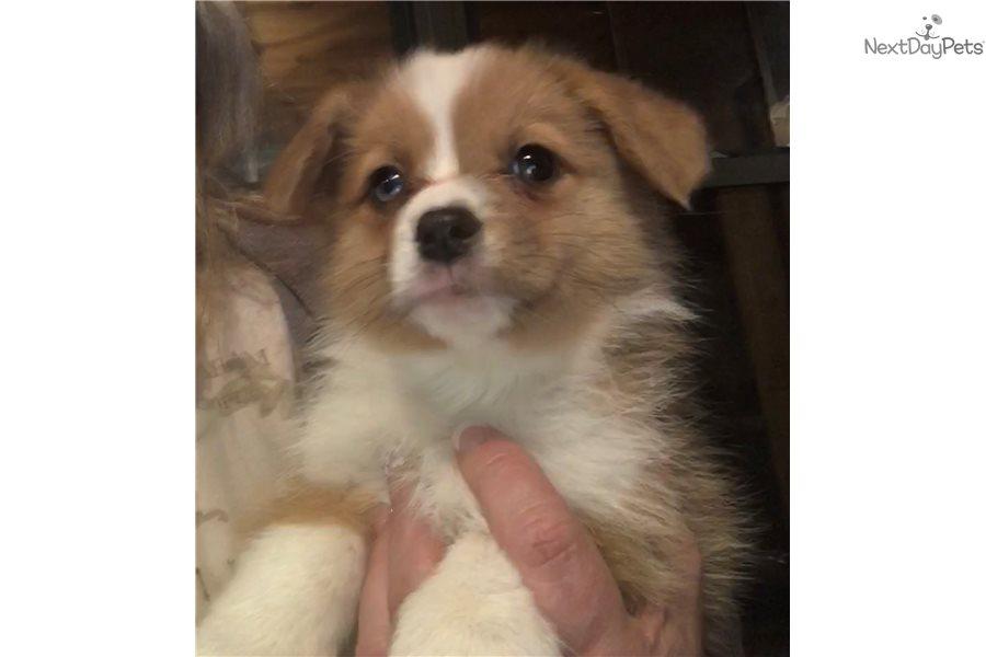Red Boy Welsh Corgi Pembroke Puppy For Sale Near Springfield