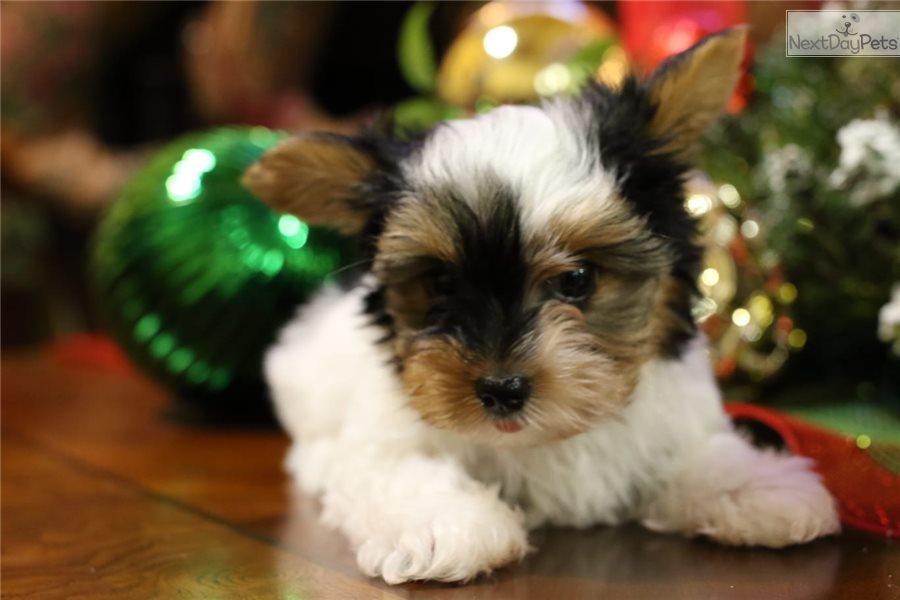 Gold: Biewer Terrier puppy for sale near Dallas / Fort Worth, Texas