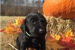 Picture of AKC Labrador Retriever Christmas puppy