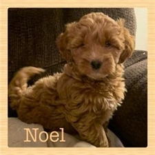 View full profile for Iddy Bit Labradoodles