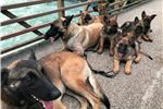 Picture of TRAINED FULL REGISTERED BELGIAN MALINOIS PUPPIES