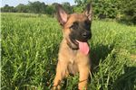 Picture of TRAINED FULLY REGISTERED BELGIAN MALINOIS PUPPIES
