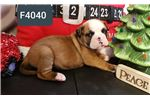 American bulldog | Puppy at 8 weeks of age for sale