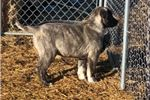 Picture of AKC Registered - Zoey