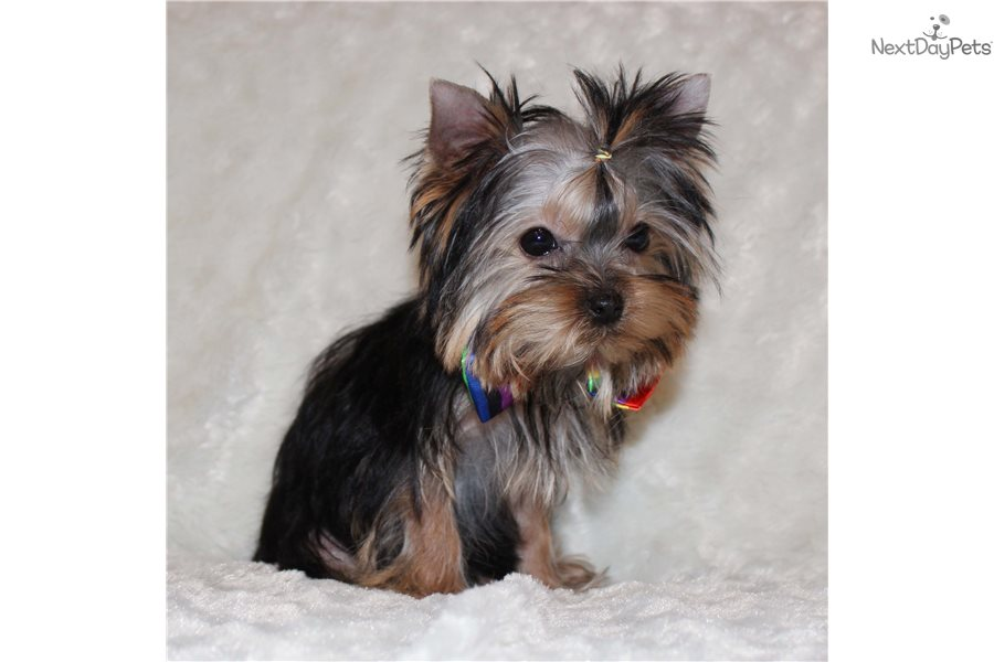 Mini Yorkshire Terrier Yorkie Puppy For Sale Near Los Angeles