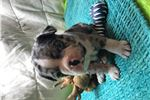 Picture of Male Frenchton Merle puppy