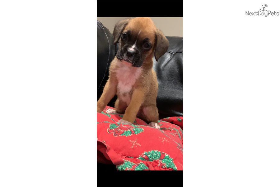 Lilly: Boxer puppy for sale near Fort Lauderdale, Florida | 977582de