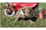 Picture of brindle female looking for her forever home